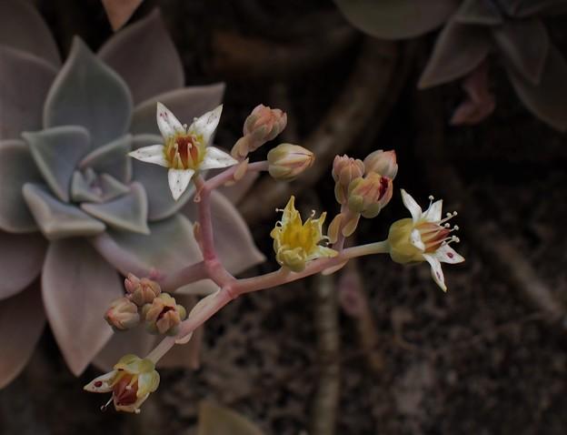 エケベリア(多肉植物)