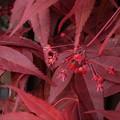 ノムラモミジの花(1)