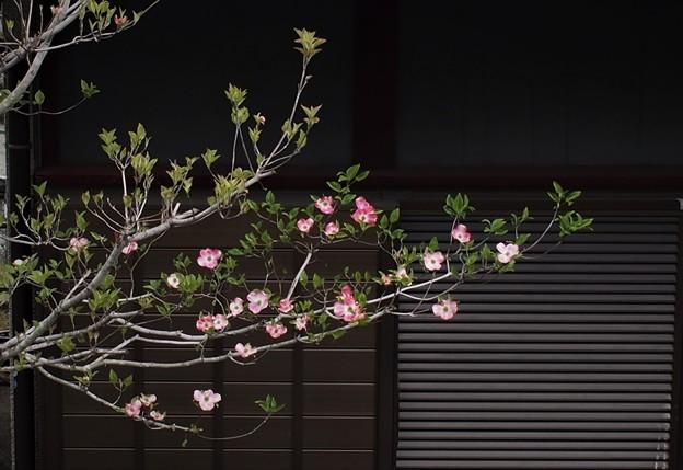 チラホラ咲き、ハナミズキ。