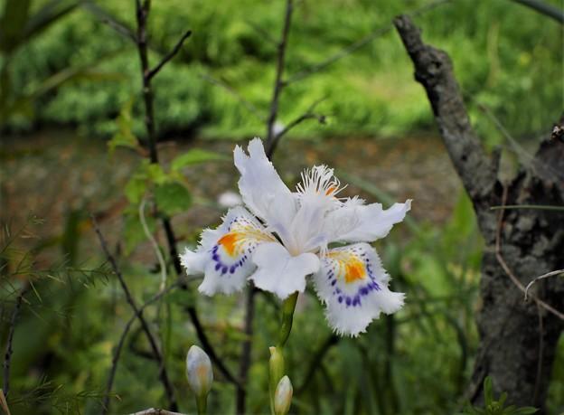 川の土手に「シャガ」が咲き