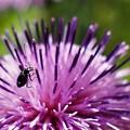 アザミの花と昆虫