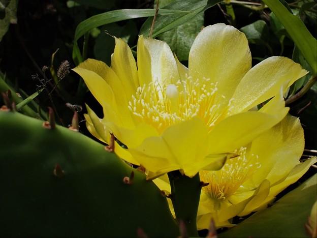 Photos: ウチワサボテンの花