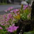 ムラサキカタバミ(1)