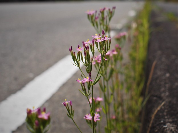 Photos: ハナハマセンブリ(1)