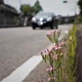 Photos: ハナハマセンブリ(3)