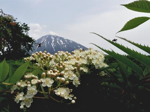羊蹄山とニワナナカマド