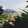 Photos: 羊蹄山とニワナナカマド