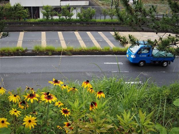 Photos: バス通りとルドベキア