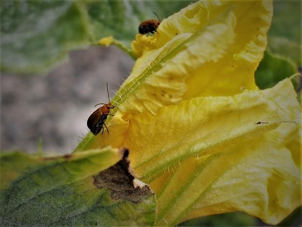カボチャの花と昆虫