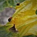 Photos: カボチャの花と昆虫