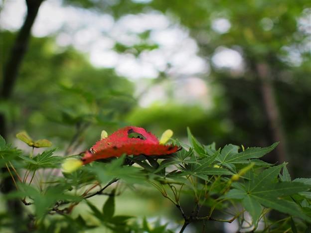 夏モミジと紅葉桜