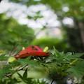 Photos: 夏モミジと紅葉桜
