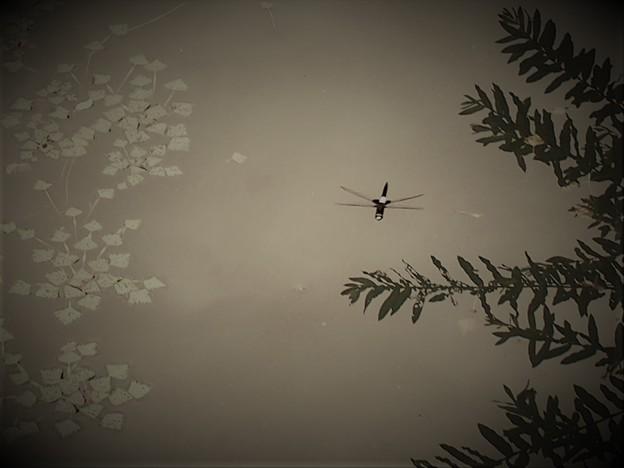 コシアキトンボ(2)偵察飛行中