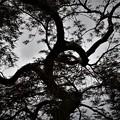 シルエット(老木)