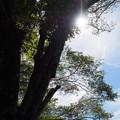 Photos: 夏の桜木(1)