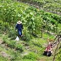 Photos: 炎天下の農作業