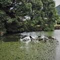 野池のヒシ(1)