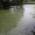 野池のヒシ(2)