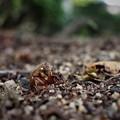 Photos: 地上へ(蝉の幼虫)2