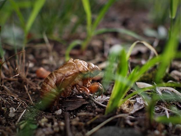 地上へ(蝉の幼虫)5