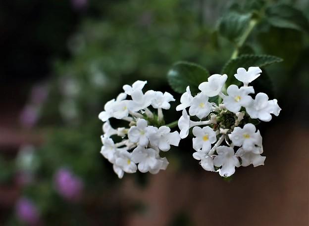 白色のランタナ