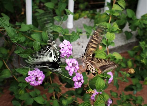 蝶の見合い