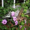 Photos: 蝶の見合い