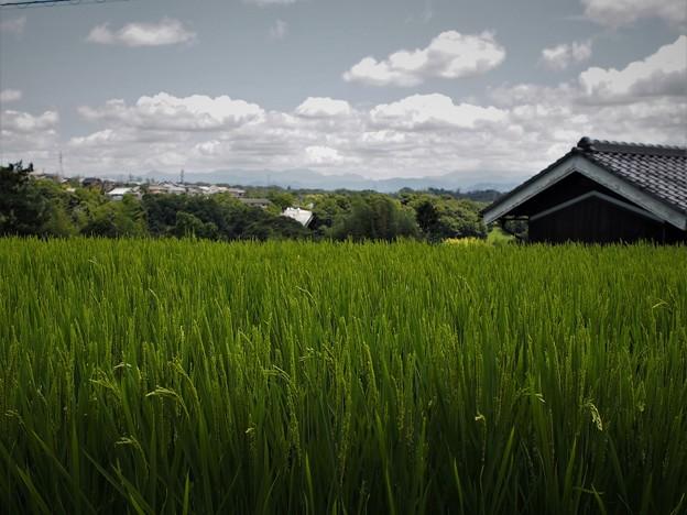 夏の稲穂(1)