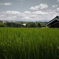 Photos: 夏の稲穂(1)