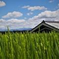 Photos: 夏の稲穂(3)