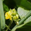 Photos: 小豆の花