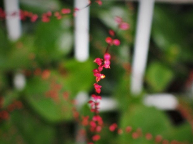 Photos: 水引の花(1)