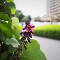 クズの花(1)
