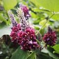 クズの花(2)