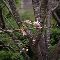 「四季桜」の開花(2)