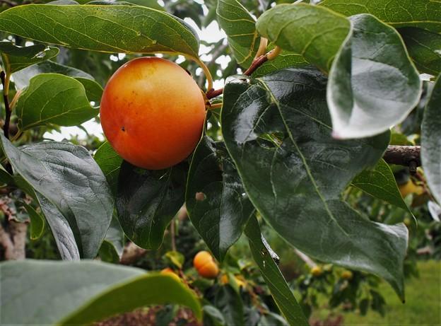 種なし柿(ヒラタネ