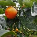 Photos: 種なし柿(ヒラタネ