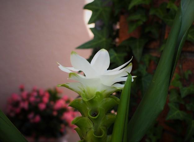 クルクマの花