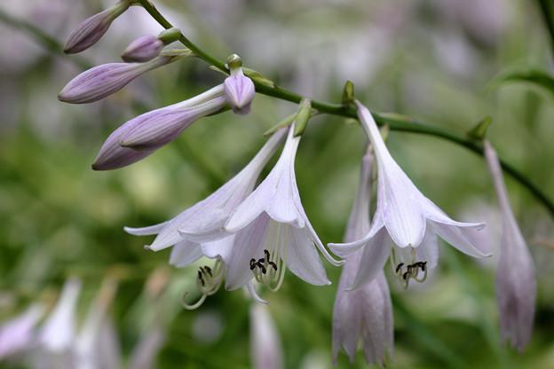 ギボウシの花咲く (2)