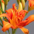 ヤブカンゾウの花咲く (1)