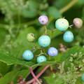 Photos: 色づき始めたノブドウの実