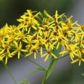 Photos: ハンゴンソウの花