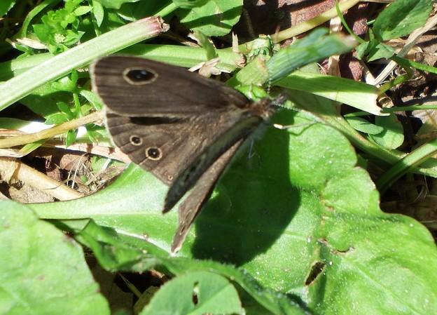 蝶 (ヒメウラナミジャノメでした)