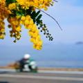 Photos: 国道脇のミモザ