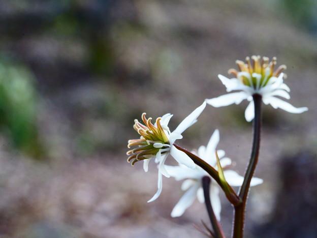 雌蕊の多い両性花