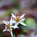 雄蕊の少ない両性花