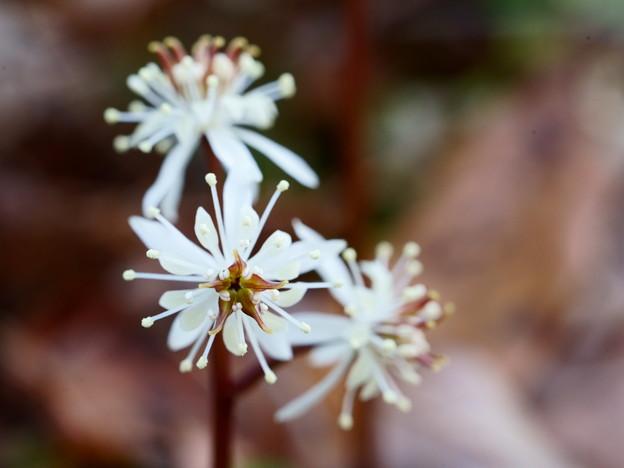 元気な雄蕊の両性花(雌蕊の少ない両性花)