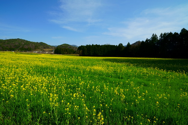 黄色い草原