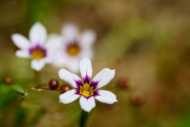 ニワゼキショウ 白花