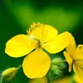 道端の黄色い花